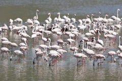 Flamingos at Lake Bogoria, Kenya. Flamingos at Lake Bogoria in Kenya Stock Photos