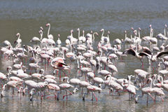 Flamingos at Lake Bogoria, Kenya Royalty Free Stock Images
