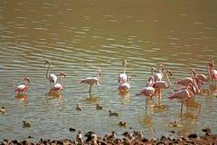 Flamingos, Lake Bogoria, Kenya. Flamingos in Lake Bogoria, Kenya Stock Photo