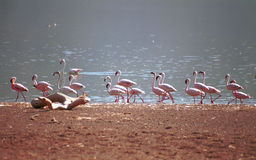 Flamingos, Lake Bogoria, Kenya. Flamingos in Lake Bogoria, Kenya Royalty Free Stock Photo