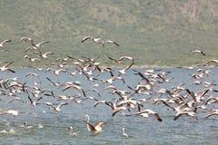 Flamingos at Lake Bogoria, Kenya. Flamingos flying at Lake Bogoria in Kenya Royalty Free Stock Image