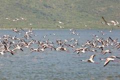 Flamingos at Lake Bogoria, Kenya. Flamingos flying at Lake Bogoria in Kenya Stock Photography
