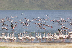 Flamingos at Lake Bogoria, Kenya Stock Images