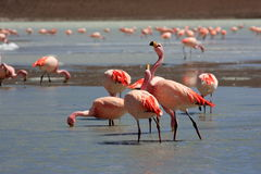 Flamingos on lake, Bolivia Royalty Free Stock Photo