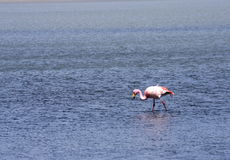 Flamingos on lake, Bolivia Stock Photos
