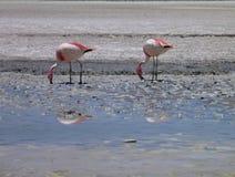 Flamingos in a lake at bolivian altiplano Stock Photo