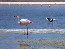 Flamingos in a lake at bolivian altiplano Stock Images