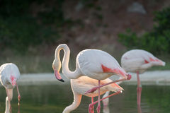 Flamingos in a lake. Royalty Free Stock Images