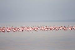 The flamingos on the Lake Eyasi (Tanzania) Stock Photos