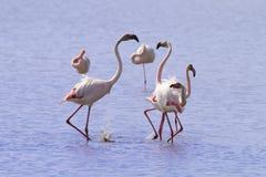 Flamingos on the lake Stock Images