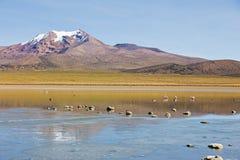 Flamingos on lake Huayñacota with the snowcapped volcano Analla Royalty Free Stock Photos