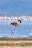 Flamingos on lake. Kenya, Africa Stock Images