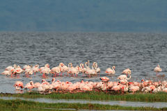 Flamingos on Lake Nakuru Stock Photos