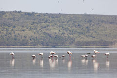 Flamingos at Lake Nakuru, Kenya Stock Images