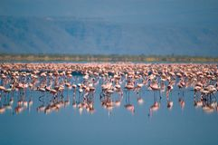 Flamingos on lake Natron stock photography