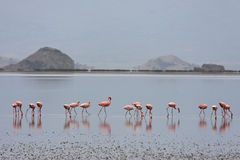 Flamingos of lake Natron Royalty Free Stock Photos