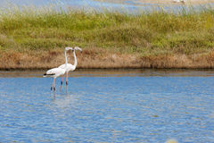 Flamingos in the lake Stock Images