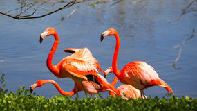 Flamingos  by a lake Stock Images