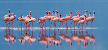 Flamingos on the lake with reflection. Kenya. Africa. Nakuru National Park. Lake Bogoria National Reserve. An excellent illustration stock images