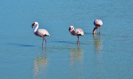 Flamingos... Royalty Free Stock Image