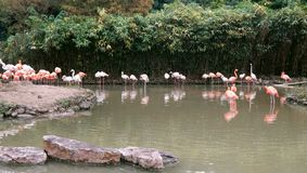 Flamingos on a lake in the suburbs of Shanghai city, China royalty free stock image