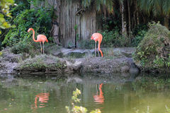 Flamingos by lake Stock Photography