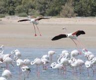 Flamingos landing. At Ras al Khor wildlife sanctuary in Dubai Stock Photography