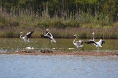 Flamingos landing on pond Stock Image
