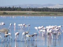 flamingos larnaca Royaltyfri Fotografi
