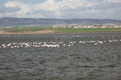 Flamingos in Larnaca Salt Lake Stock Photos