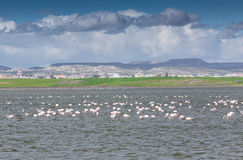 Flamingos in Larnaca Salt Lake Royalty Free Stock Images