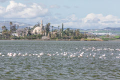 Flamingos in Larnaca Salt Lake Stock Image