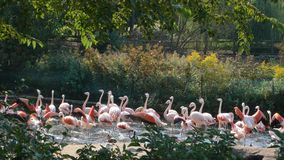 Flamingos in Lincoln Park, Chicago stock image