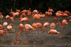 Flamingos Stock Photo