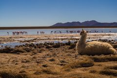 Flamingos and a llama in Bolivian Andes. Mountains, lakes and wildlife in the altiplano Stock Photography