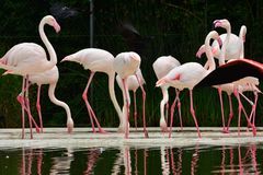 Flamingos are looking for feed royalty free stock image
