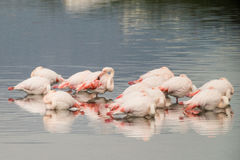 Flamingos. A lot of flamingos in Olbia`s gulf Royalty Free Stock Image