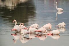 Flamingos. A lot of  flamingos in Olbia`s gulf Stock Photo