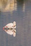 Flamingos. A lot of  flamingos in Olbia`s gulf Stock Photography