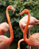Flamingos in love. Flamingos forming a heart Stock Image