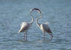 Flamingos making love Stock Photo
