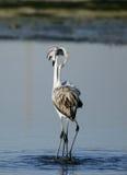 Flamingos making love Stock Image
