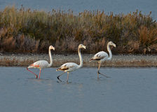 Flamingos in the marsh Stock Image