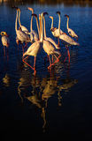 Flamingos , mating dance and head flag movement Royalty Free Stock Image