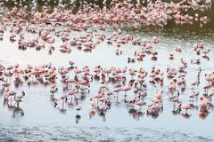 Flamingos in Momela Lake, Arusha National Park, Tanzania royalty free stock images