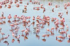 Flamingos in Momela Lake, Arusha National Park, Tanzania stock image