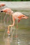 Flamingos na água fotos de stock royalty free