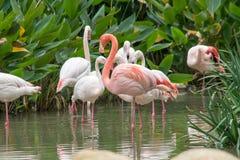 Flamingos na água Imagem de Stock Royalty Free