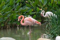 Flamingos na água Imagens de Stock Royalty Free