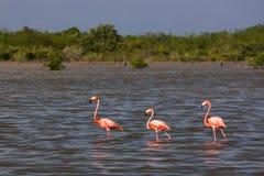 Flamingos na água em Cuba Fotos de Stock Royalty Free